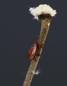 Slik ser den nyoppdagede flåttarten Dermacentor reticulatus ut. Den er ca. 7-8 mm lang, og er dermed betydelig større enn skogflåtten. (Foto: René Bødker og DTU)